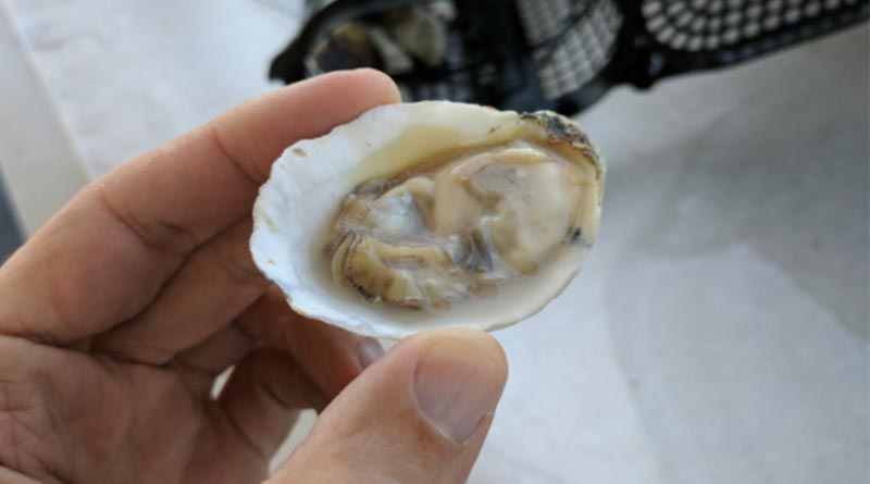 A raw oyster in Mobile, Ala. Dare you to try one.