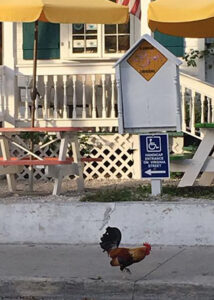 Finding street chickens on a road trip to Key West