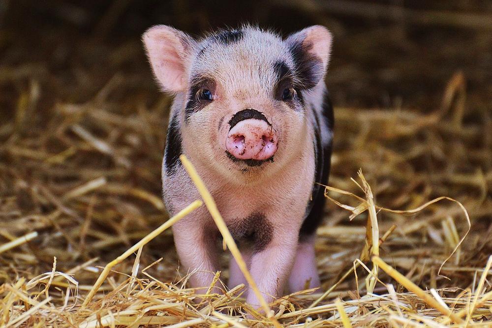 mini pig, piglet, pet